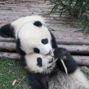 WB, IMAX Give 'Pandas' Expansion, Release Adorable New Pictures